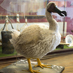 Back from the dead? Replica �Dodo� a highlight taxidermy highlight of museum auction
